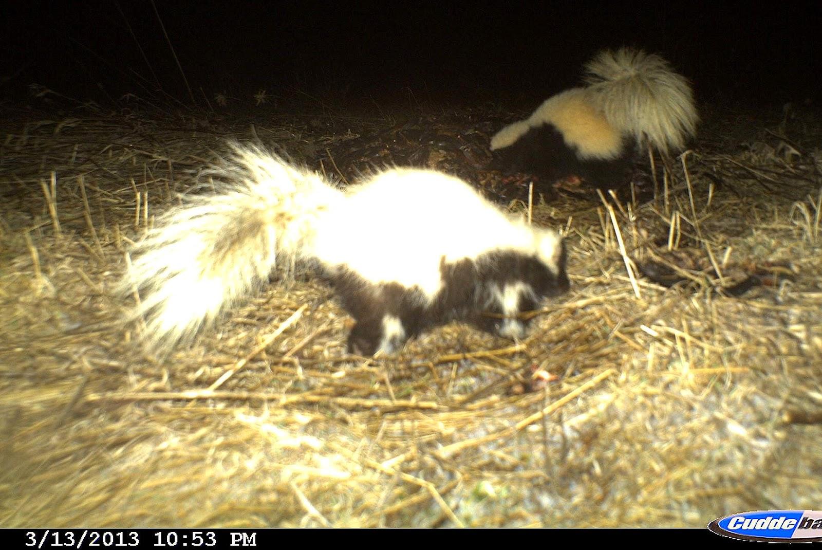 backyard beasts are striped skunks symmetrical