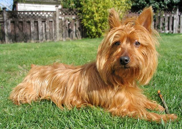 Australian Terrier