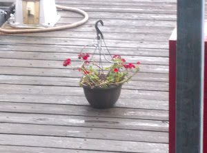 A 10 minute rain and the geranium said thanks! Poor thing. It is fighting for it's life!