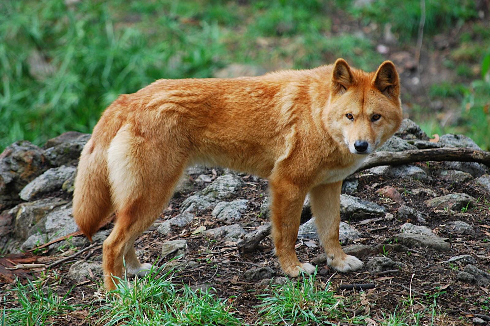 Dingo Animals Latest Facts Amp Amp Pictures All Wildlife