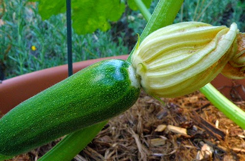 Closeup of Zucchini fruit with blossom end