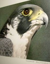 The Boise, Idaho PEREGRINE FALCON WebCam