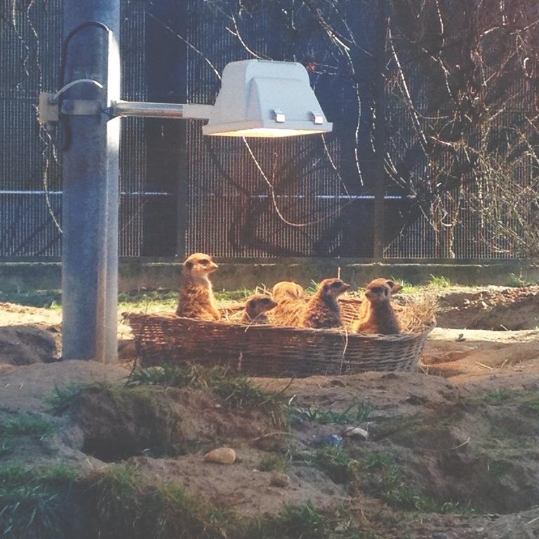 Kölner Zoo, Köln, Zoo, Erdmännchen, Frollein Pfau