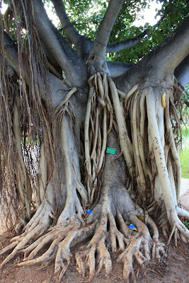 Indian banyan with octopi