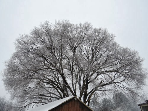 frosted maple tree
