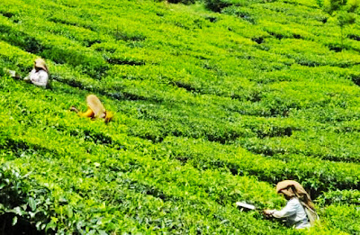 Nepal's tea output to grow 5pc
