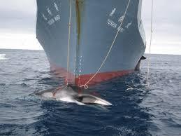 Japón volverá a cazar ballenas en la Antártida  en 2016