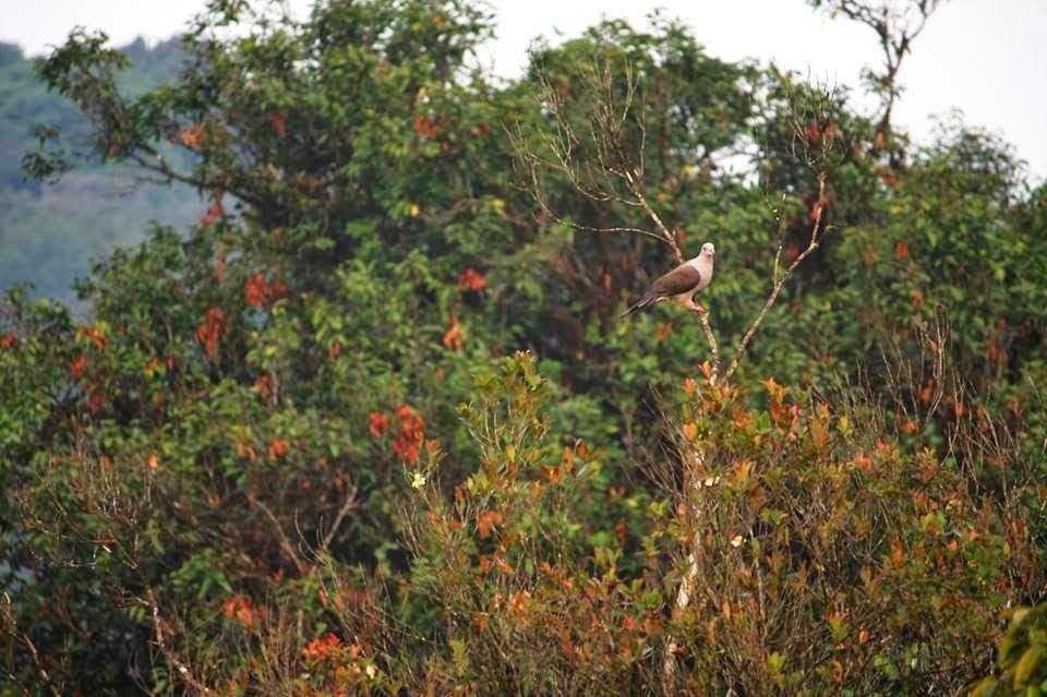 black shouldered kite, Kudremukh birds