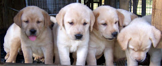 Labrador Retriever puppies Pictures