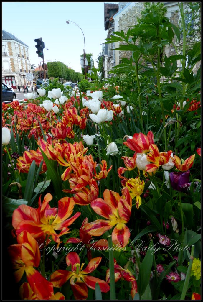 Tulips Versailles-Montreuil