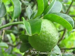 Klasifikasi dan Morfologi Jeruk Nipis Citrus aurantifolia (Christm.)
