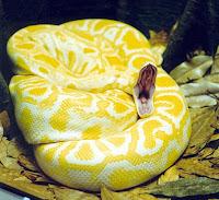 colorful snake Albino_burmese_pythons
