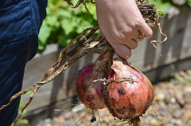 stock image photo of onions in garden