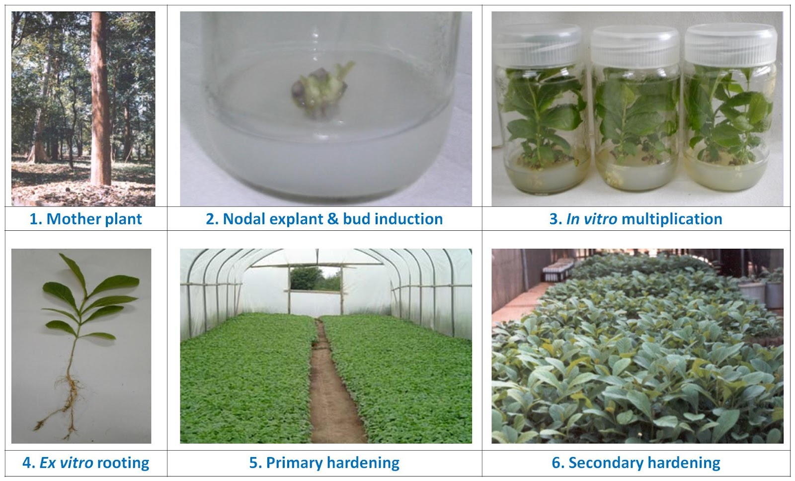 tissue culture Plant tissue culture is the process of creating more plants from one plant learn about plant tissue culture techniques, cloning, micropropagation process and uses @byju's.