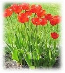 Tulipaner i hagen.