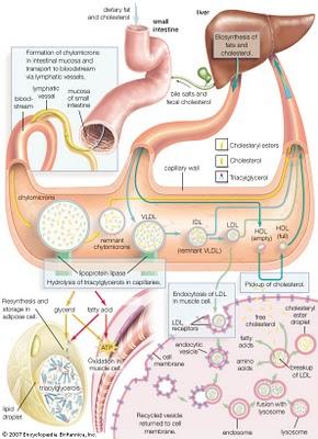 Fungsi Lipid