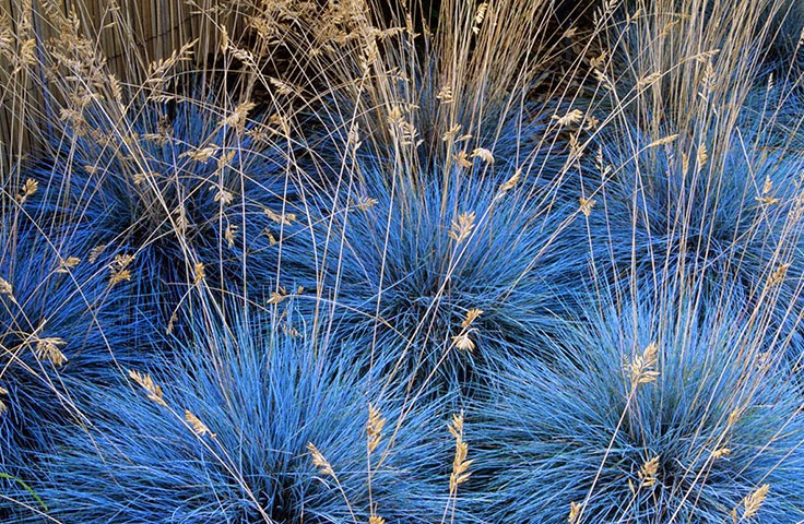 festuca glauca the blue fescue the garden of eaden