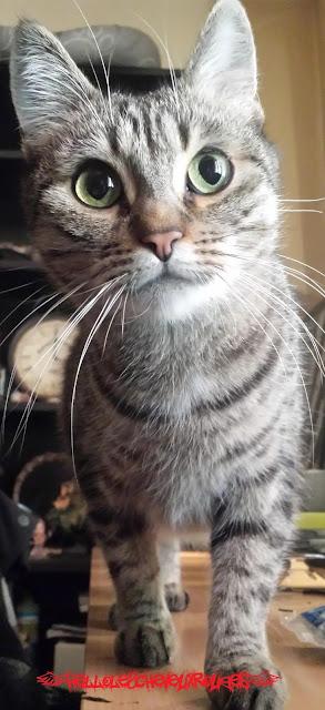 chat tigré debout sur une tablewww.hellolescheveuxrouges.com