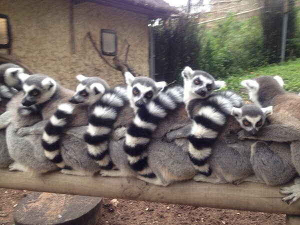 Funny animals of the week - 13 December 2013 (40 pics), ring tailed lemurs cuddling