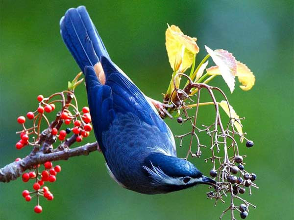 Beautiful Birds Blue Bird
