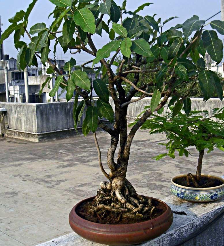 gular bonsai plant