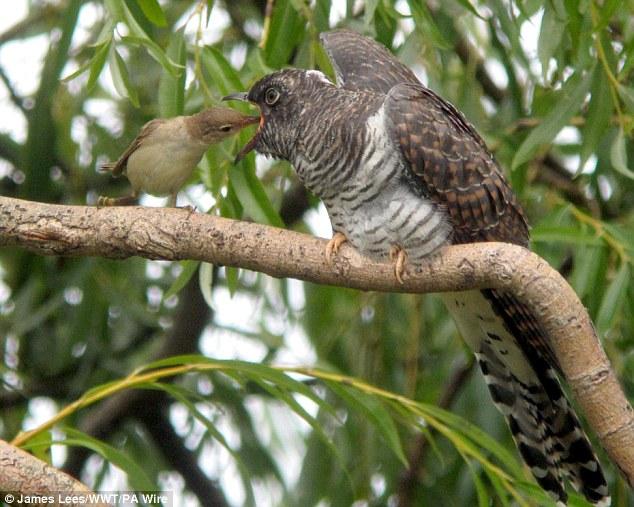 Burung beri makan anak burung yang lebih besar