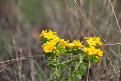 hoary puccoon in June