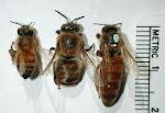 bee-drone-queen