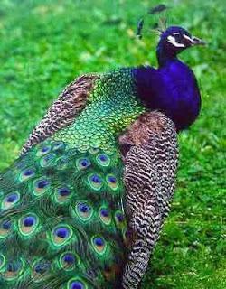 burung Merak