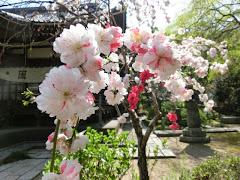 安国論寺の源平枝垂れ桃