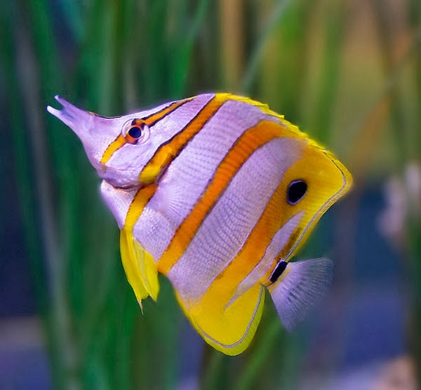 Butterfly fish information care types and breeding all for Where to buy aquarium fish