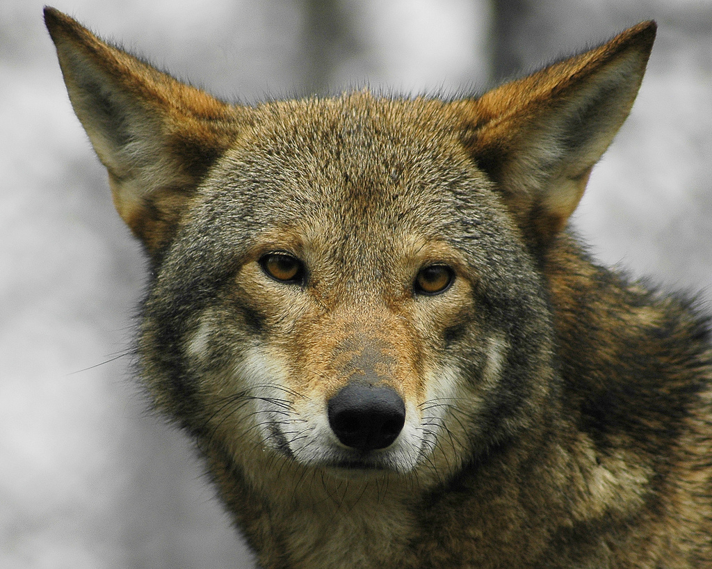 a research on the wolfs population and extinction The politically determined population target for wolves in norway states  study  to examine what it means to have a viable wolf population in norway  the wolf  is listed as 'critically endangered' on the norwegian red list.