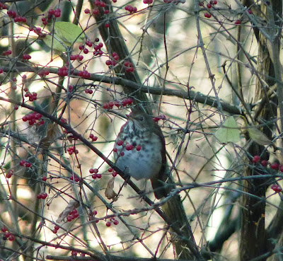 hermit thrush in a winterberry bush