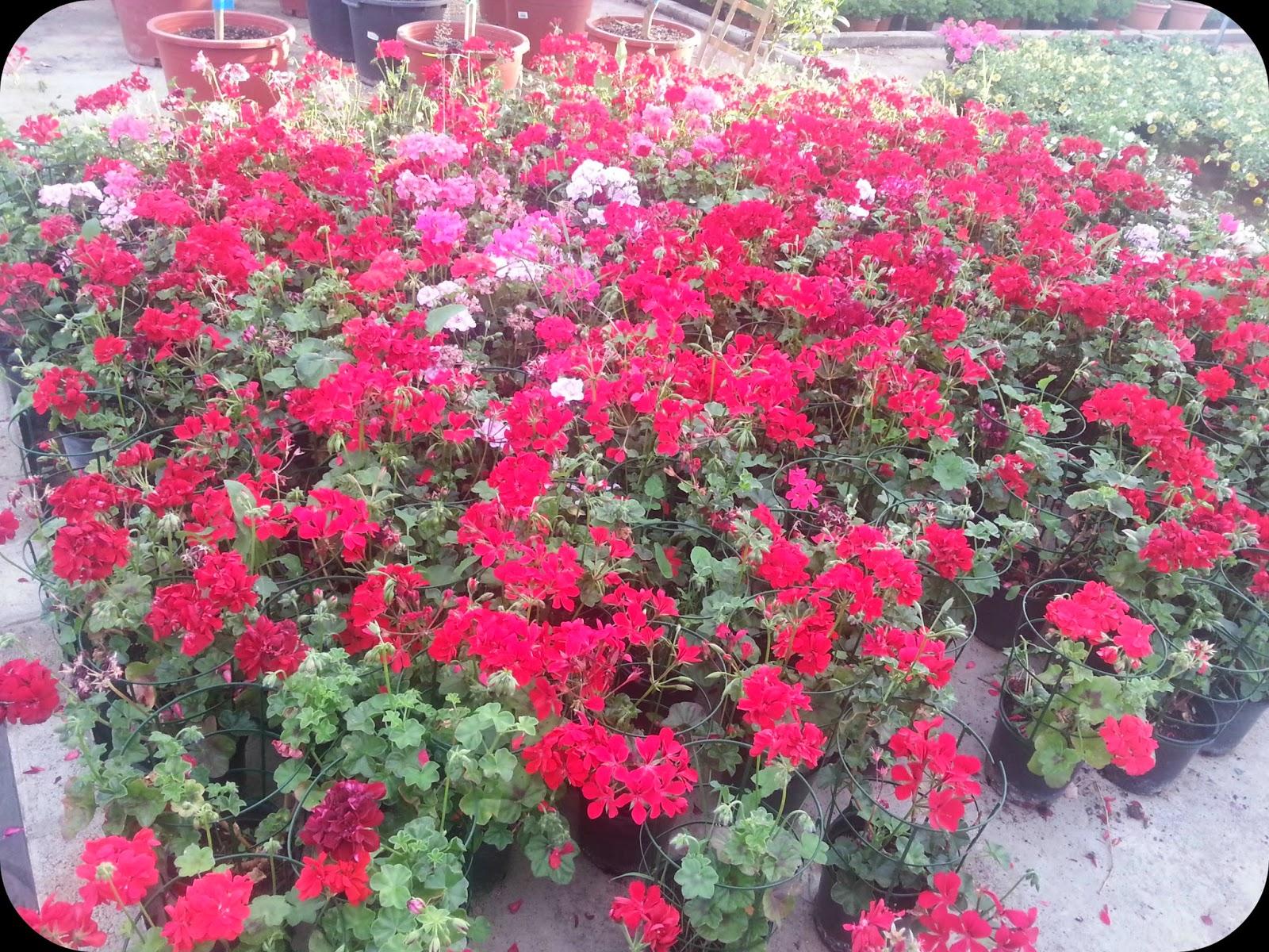 flores rosas para la terraza