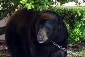 Taking the Baylor bear for a walk