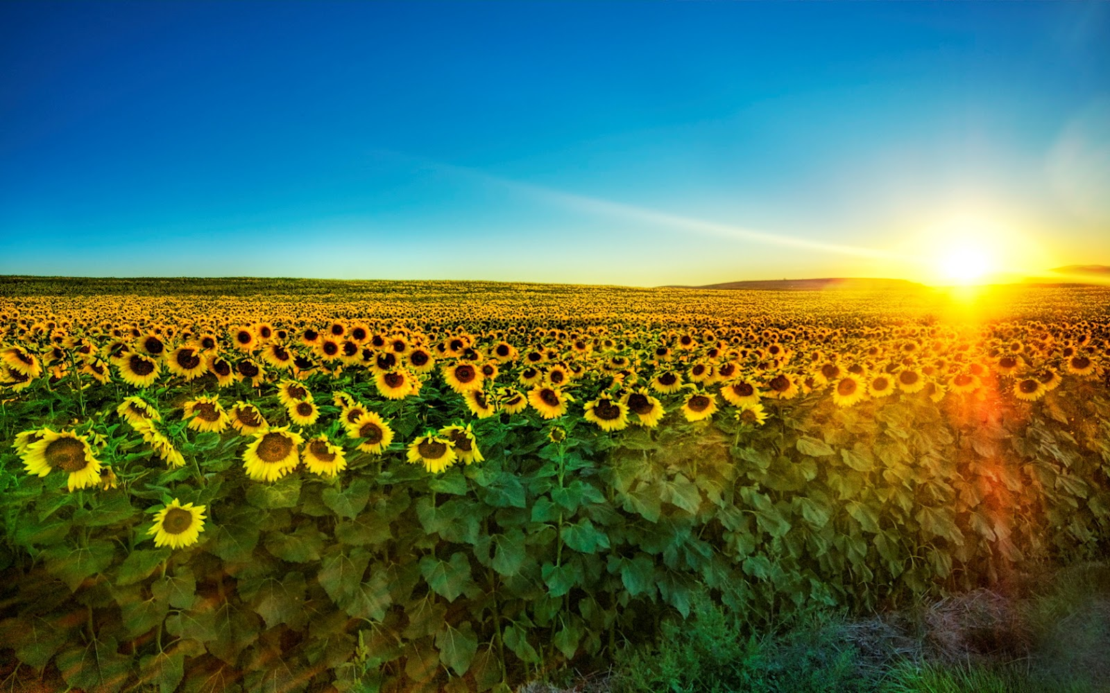 Canada Floral Delivery Blog The Largest Sunflower Garden