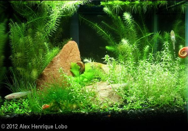 AGA 2012 - Alex Henrique Lobo 10L Aquatic Garden: Killie Jungle