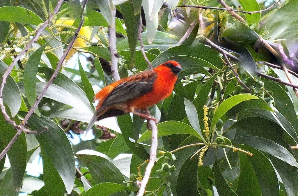 Oiseau Martine 12 avril trouvé par Ajonc Oiseau+Foudi+Rouge+MOHELI+Comores+%2528219%2529