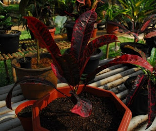 Red Croton Plant