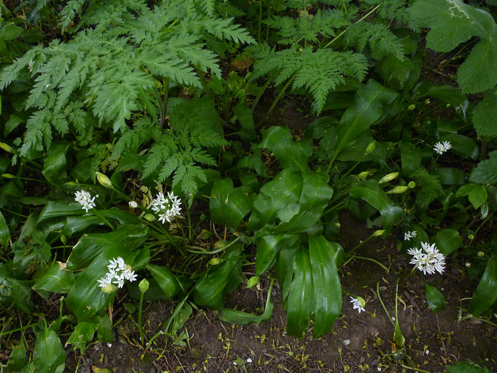 Wild Garlic Plant For Some Wild Garlic