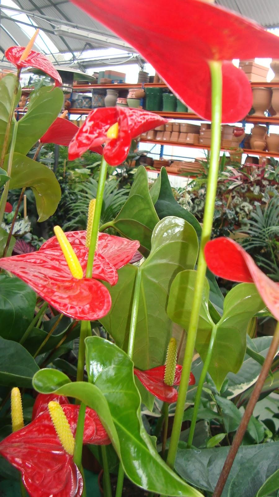 Floresamatxo todo sobre las flores consejos para cuidar for Jardines de anturios