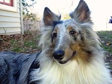 Super Fine Collie
