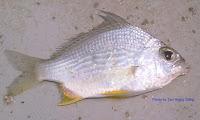 Deep-bodied Mojarra, Silver Biddy
