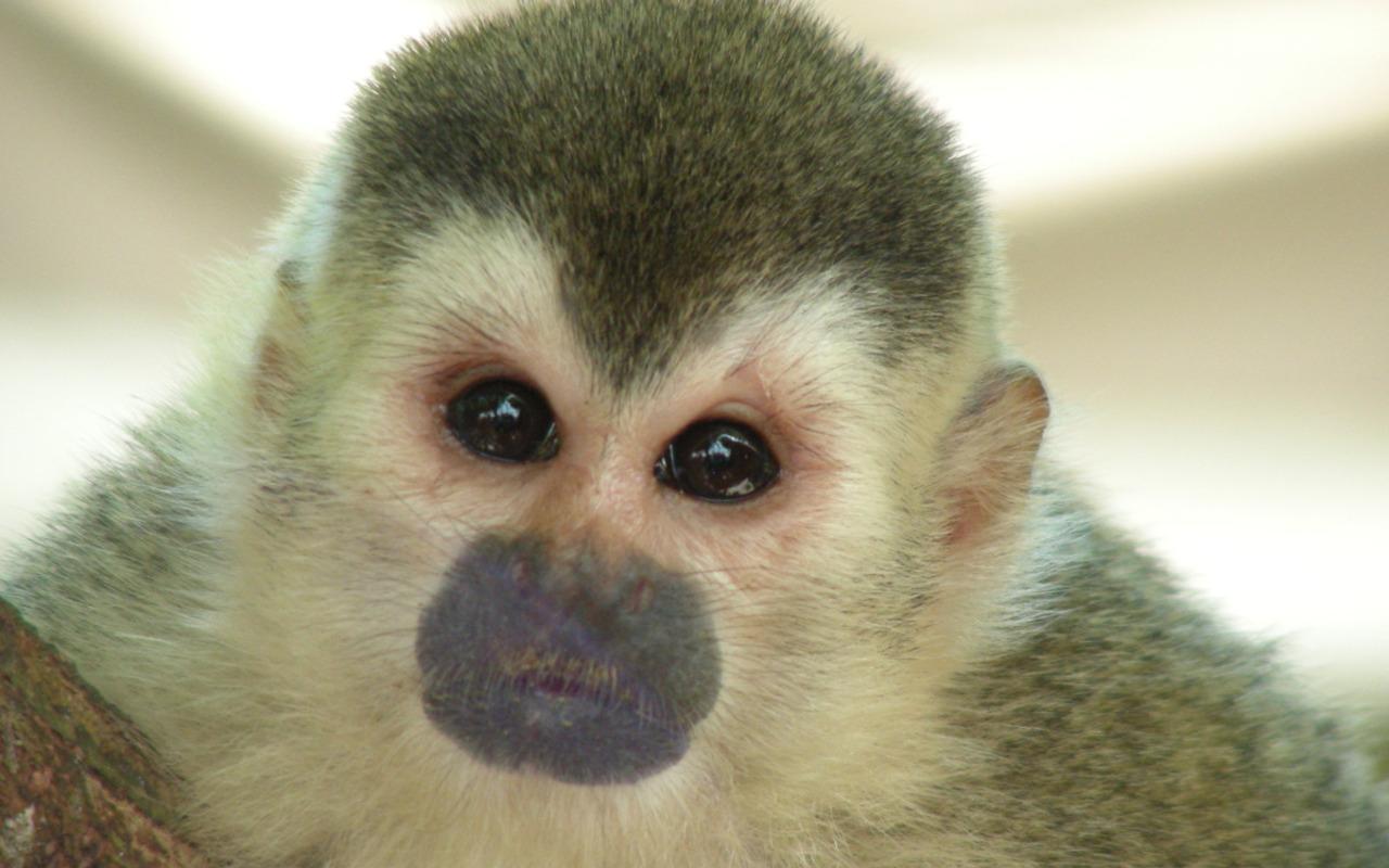 http://2.bp.blogspot.com/-HUU63m6pIqU/TVvEHU14KiI/AAAAAAAAITA/9gF5tcESk9k/s1600/monkey+wallpapers+%25282%2529.jpg