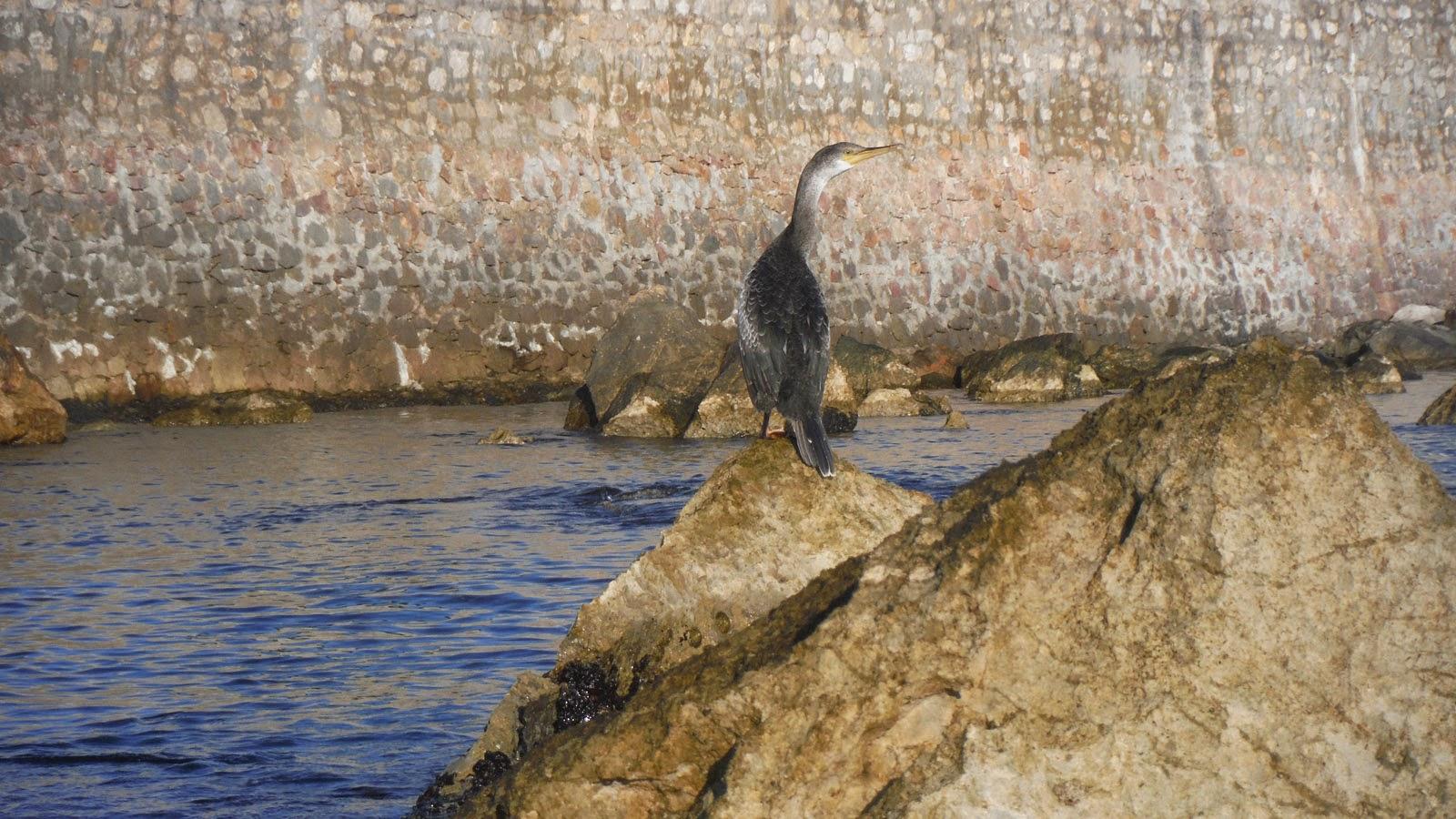 Corb Emplomallat - Pesca i caiac Costa Brava - L'escala