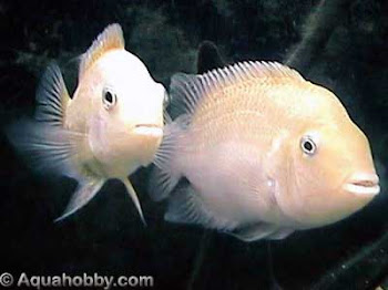 A Pair Of White Convict Cichlids