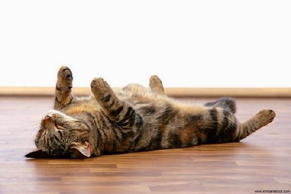 Chat dort sur le dos