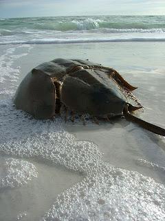 File:Horseshoe Crab.jpg - Wikimedia Commons commons.wikimedia.org