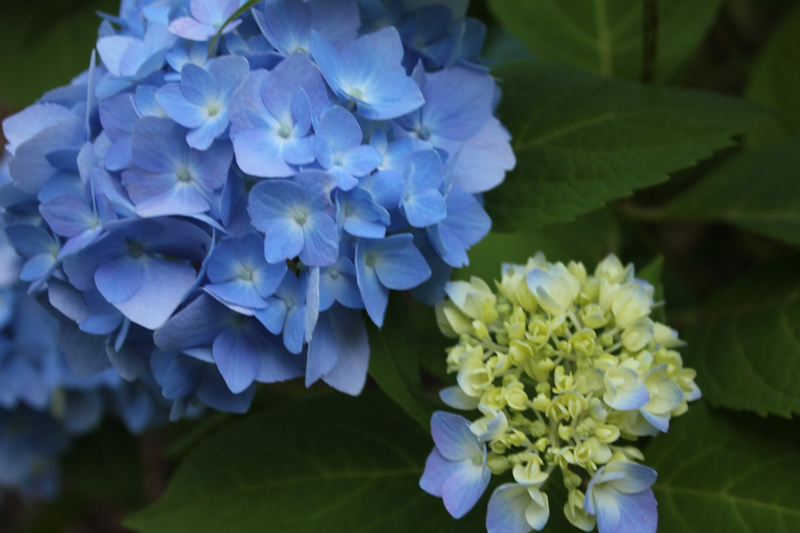 Gardening And Gardens Hydrangeas Blue Pink White And Lace