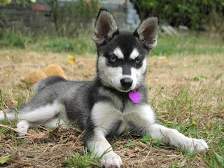 alaskan klee kai puppy breeds photo pets dog infomation